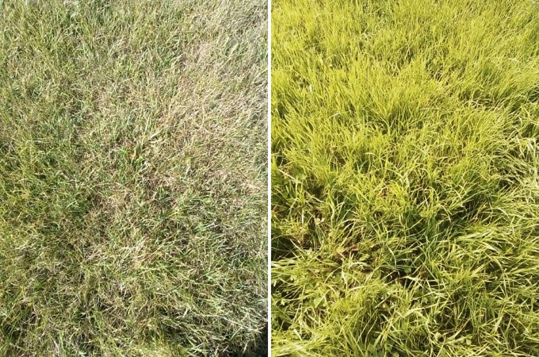 Pictures of non-irrigated ley versus irrigated ley.
